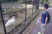 白鳥をみている児童