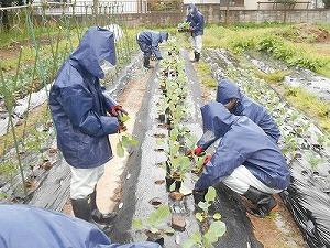 苗植えの様子