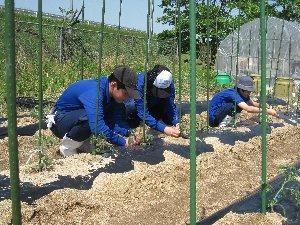 野菜の苗を支柱に支える作業の様子